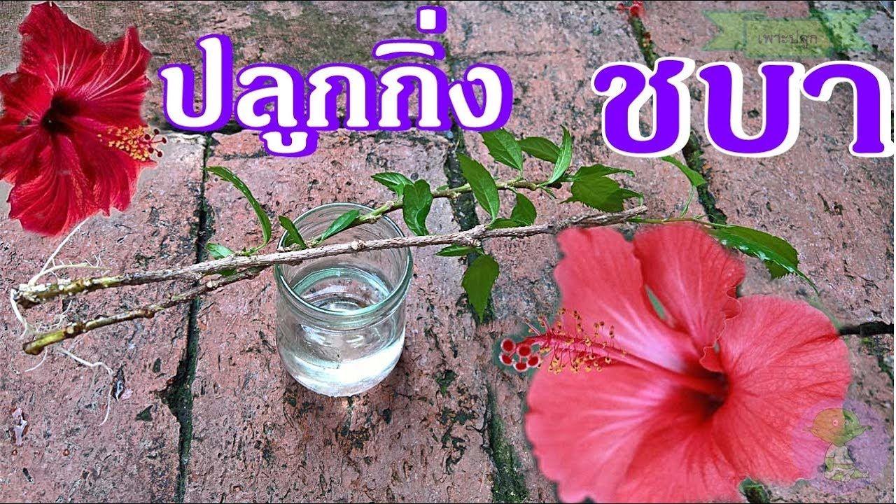 ปล กชบา ป กชำชบาจากก าน ดอกไม