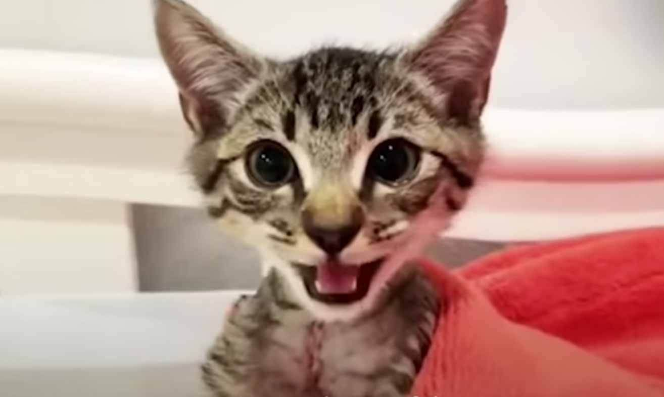 Teeny Tiny Paralyzed Kitten Surprises Everyone We Love Cats And Kittens In 2020 Kitten Surprise Cats And Kittens Cat Lovers