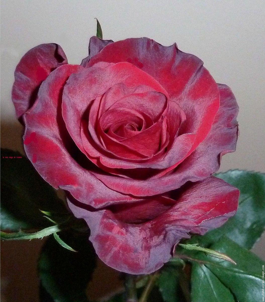 Fleur Rose Rouge La Rose Rouge De L Amour Beaute Naturelle
