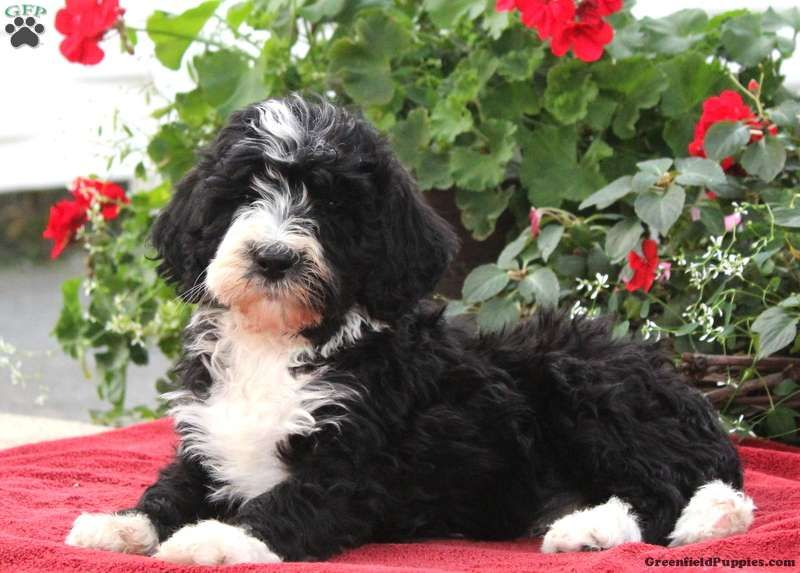 Bernedoodle puppies for sale bernedoodle puppy puppies