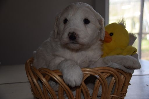 Litter Of 5 Pyredoodle Puppies For Sale In Nashville Tn Adn 70406
