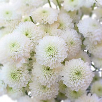 Zip mini button pom white flower pinterest flower wedding and poms also go by mums many flowers come on a single stem and can be separated from the main stem and arranged in a shorter container mightylinksfo