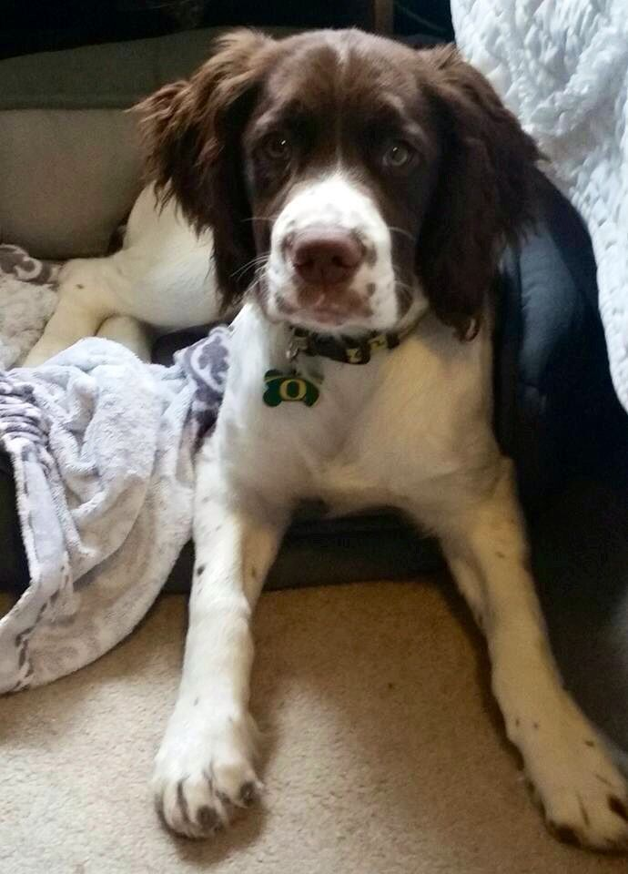 English Springer Spaniel Dobby The House Dog Dobbythehousedog Beautiful Dogs Springer Spaniel Puppies Cute Dogs