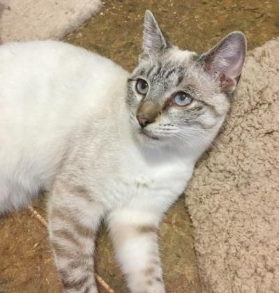 Asante, adoptable Cat, Young Female Siamese & Tabby Mix