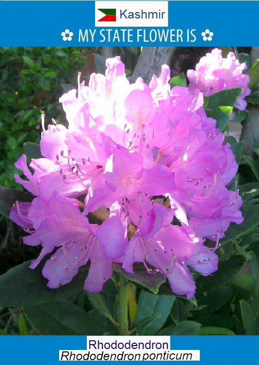 Rhododendron From Ancient Greek ῥodon Rhodon Rose And Dendron Dendron Tree 2 3 Is A Genus Of Over 1 000 Species Of Woody Plants In The Heath Famil Flores