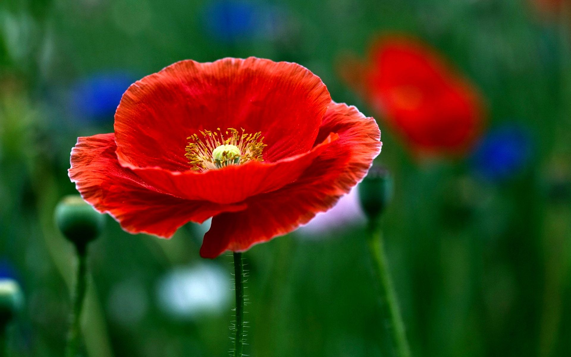 Poppy Flower Poppies Flower Wide Hd Wallpaper Poppy Field Flower