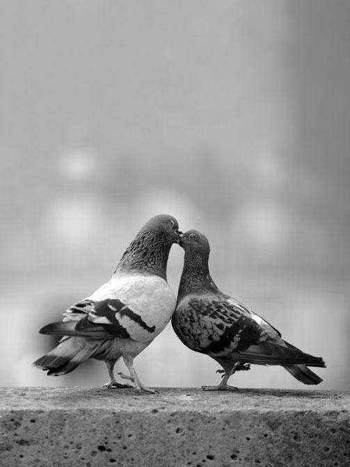 Pigeons ~ Aww...isn't it romantic?