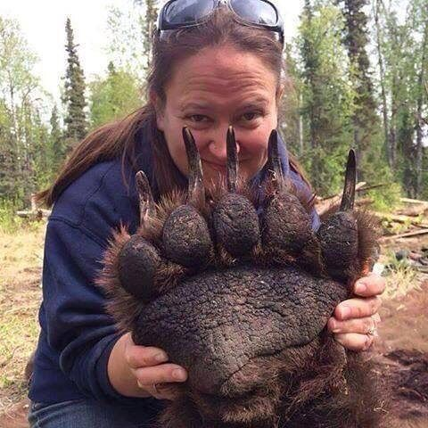 """WHOA! This is how big a grizzly bear's paw is - by the way, the bear is sedated and about to be tagged. I'm in absolute awe! Pic via Susan Carney"""