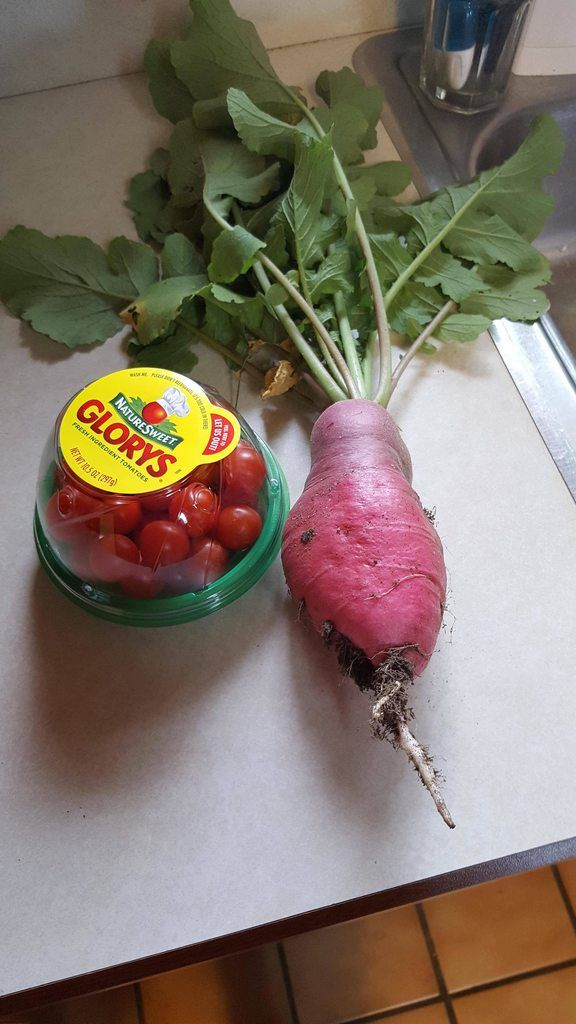 Didn't have a banana for scale but this is a radish from my sisters garden.