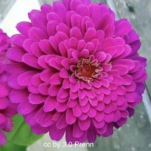 AN02718  PURPLE PRINCE  Zinnia Seeds    Brilliant, rosy purple, 4-5 inch, semi-double to fully double, dahlia type blooms. They make superb cut flowers. The easy to grow, mildew resistant plants grow 2.5-3 feet tall.