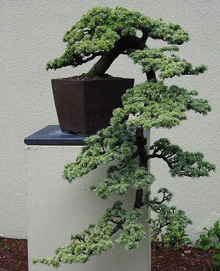 Todo bonsai como hacer uno y cuidados bonsai for Bonsais de interior