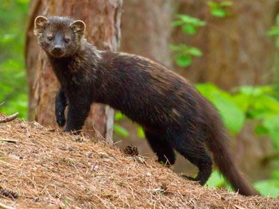 new england fisher cat... not an animal I would want to