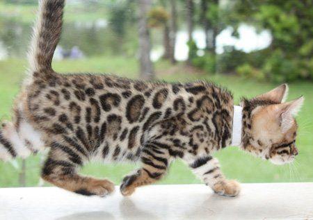 Bengal Kitten With Big Rosettes Bengal Cat Kittens