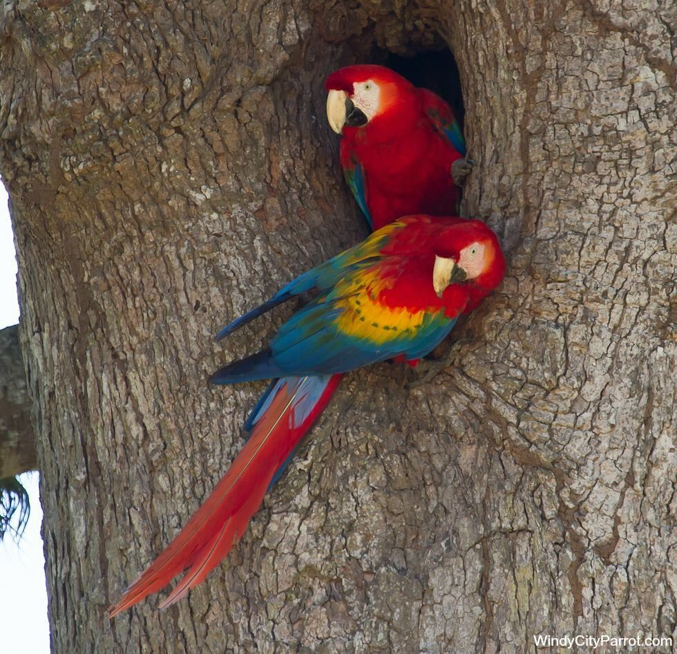 a pair of scarlet macaws nesting in a tree cavity