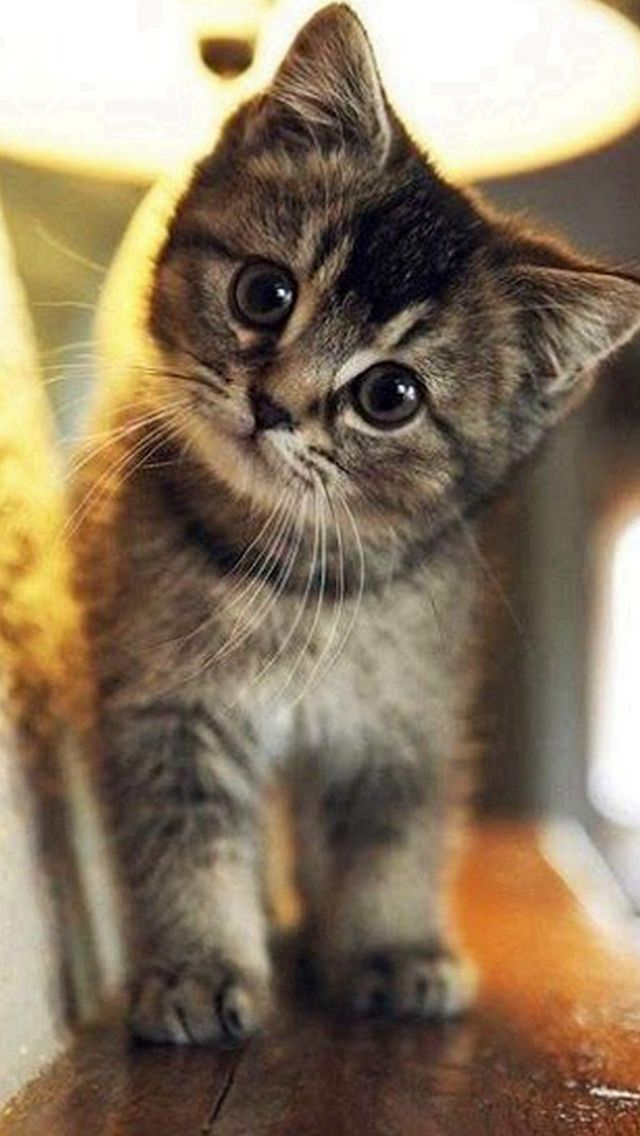 Cute Stare At Cat Animal Iphone 5s Wallpaper Download Iphone Wallpapers Ipad Wallpapers One Stop Download Kittens Cutest Baby Animals Pictures Cute Animals