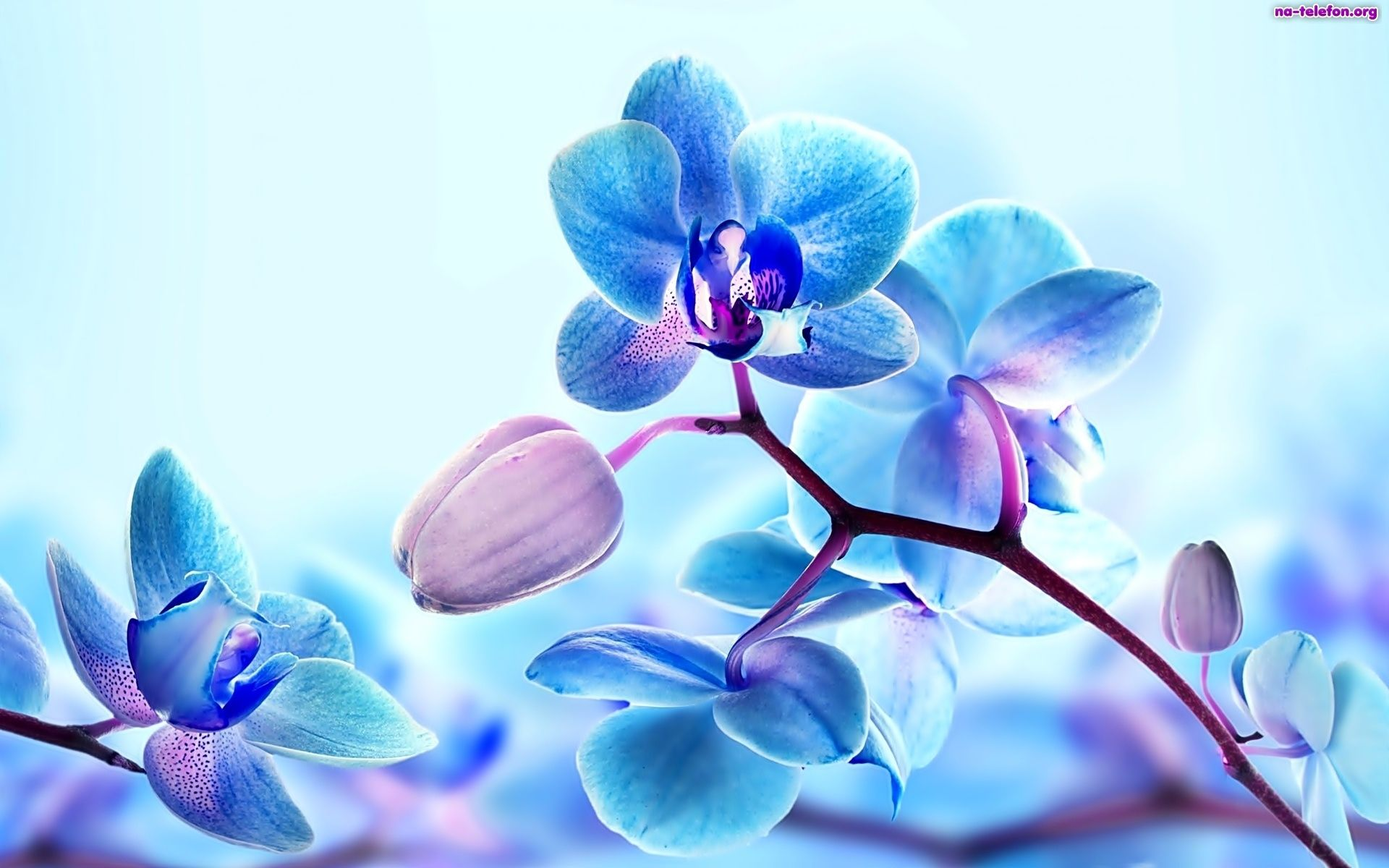 Storczyki Na Telefon Orchid Wallpaper Blue Orchid Flower Blue Orchids