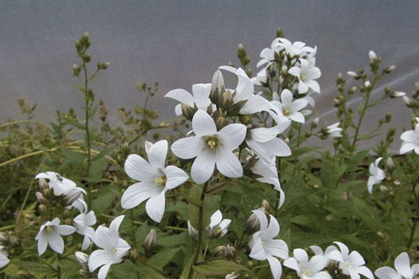 Campanula lactiflora avalanche throughout summer this classic flowers mightylinksfo