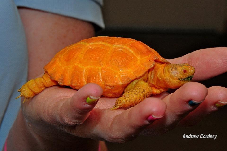 how cool is this guy....Albino desert tortoise