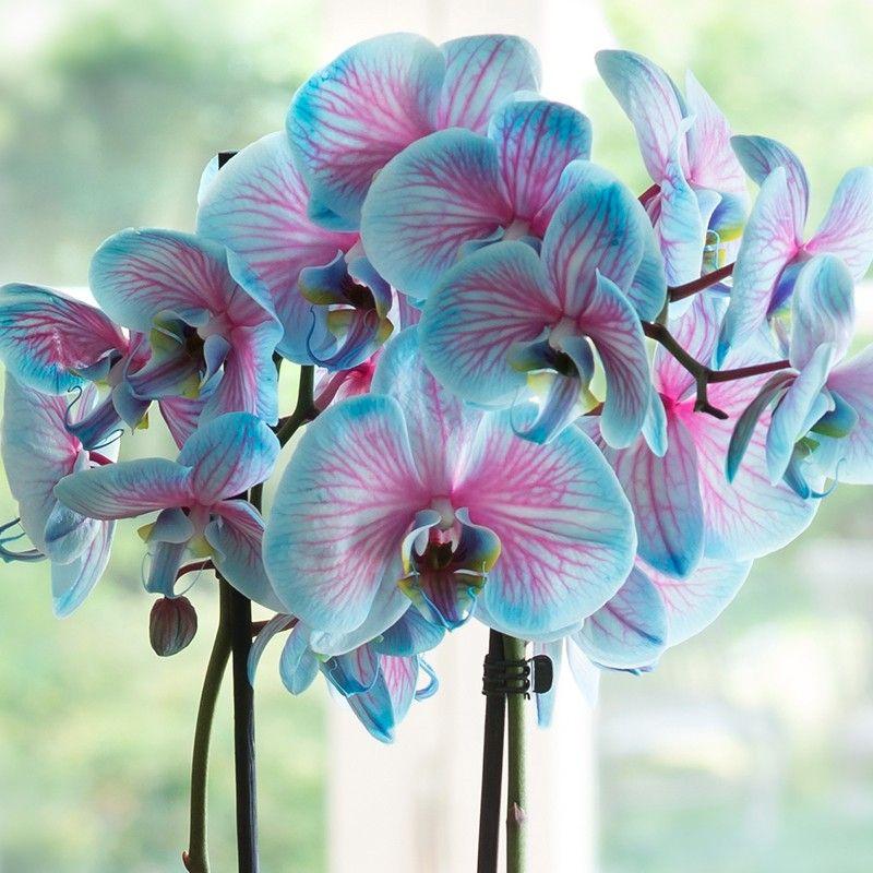 pink amp blue wonder orchid flower pinterest pink blue