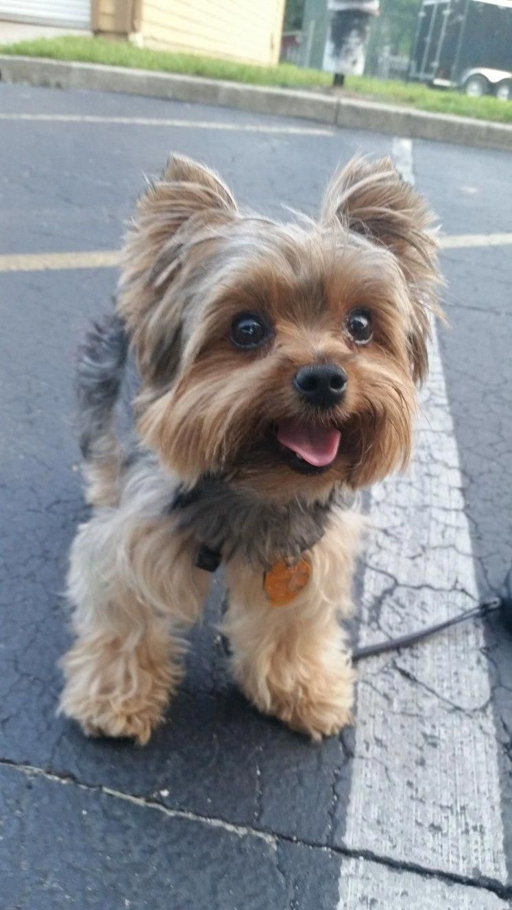 Yorkshire Terrier Energetic And Affectionate Yorkshire Terrier Dog Yorkie Puppy Yorkshire Terrier Puppies