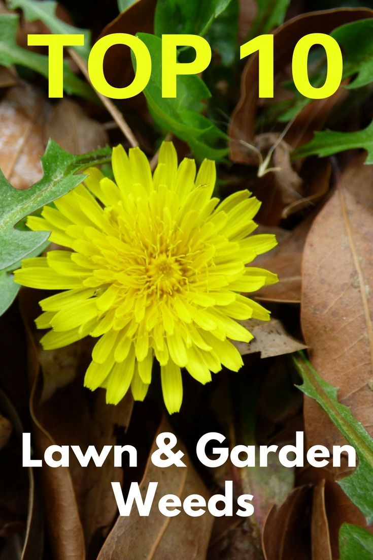 Learn more about the top lawn and garden weeds knowing the