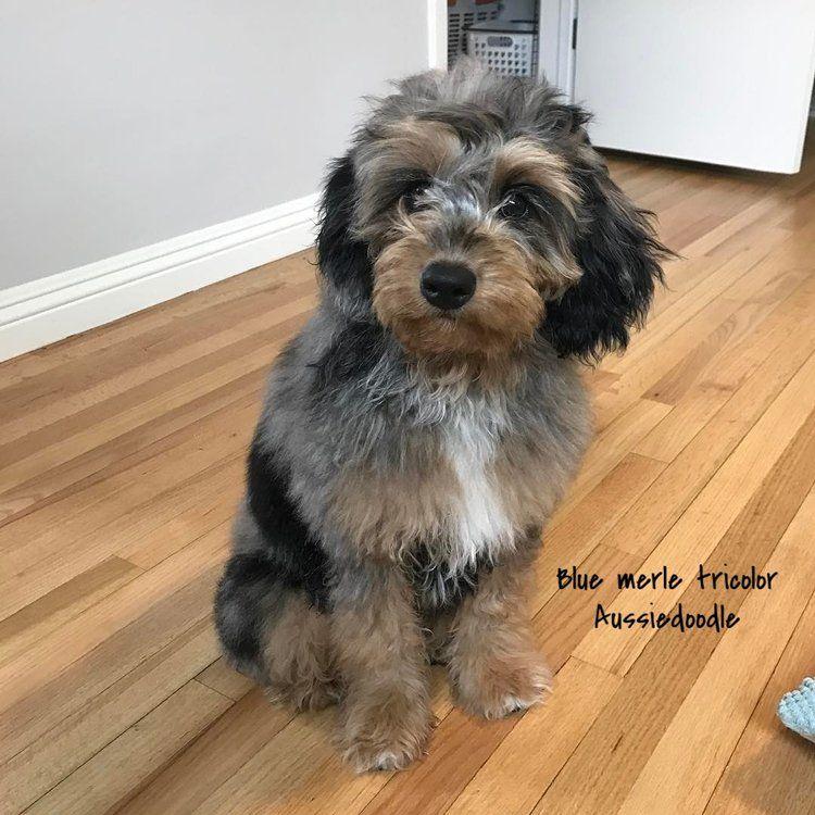 Copy Of Blue Merle Tri Mini Aussiedoodle Labradoodle Puppy Cute