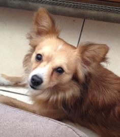Dingo Is An Adorable 3 Year Old Pomeranian Chihuahua Papillon Mix
