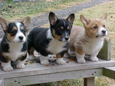 Corgis! I want all of them!!