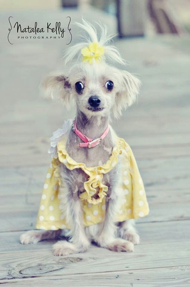 My sweet rescue puppy! Chinese crested hairy hairless ...