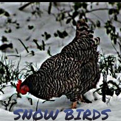Snow Birds (Backyard Chickens in Winter) | Chickens ...