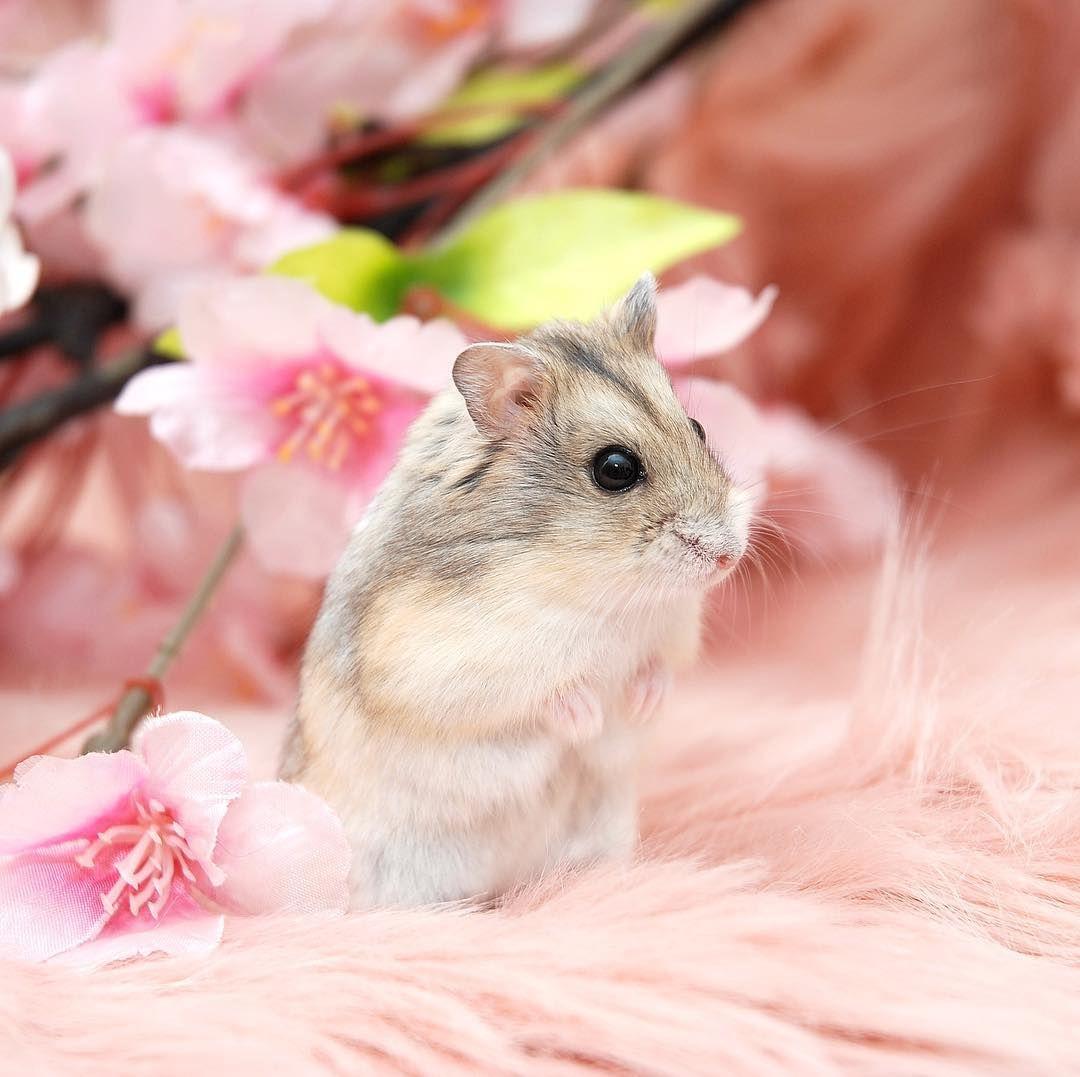 BP002 Syrian Golden Hamster Premium Blanket