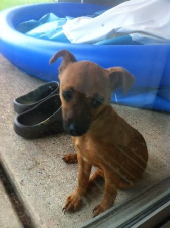 Copperfield Puppy Found Probably 3 6 Months Old Has A Red Coat