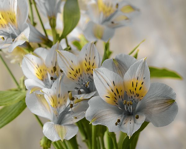 Peruvian Lily by Ann Bridges
