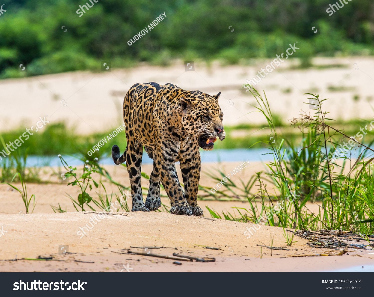 Jaguar Walks Along The Sand Along The River Against The Backdrop Of Beautiful Nature South America Brazil Pantanal Na Pantanal Beautiful Nature Stock Photos
