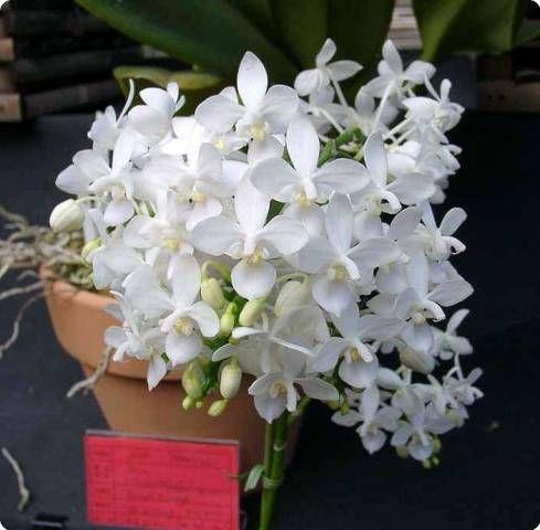 Phalaenopsis Stuartiana Var Nobilis | Phal. stuartiana var. nobilis 9.95 , 8 см горшок