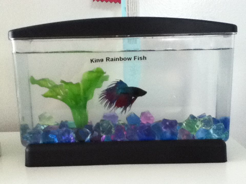 This Is My Crown Tail Betta Fish I Have Recently Bought At Pet Smart Betta Fish Rainbow Fish Betta