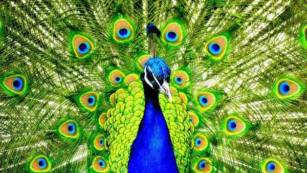 パキパキカラーの孔雀の動物壁紙