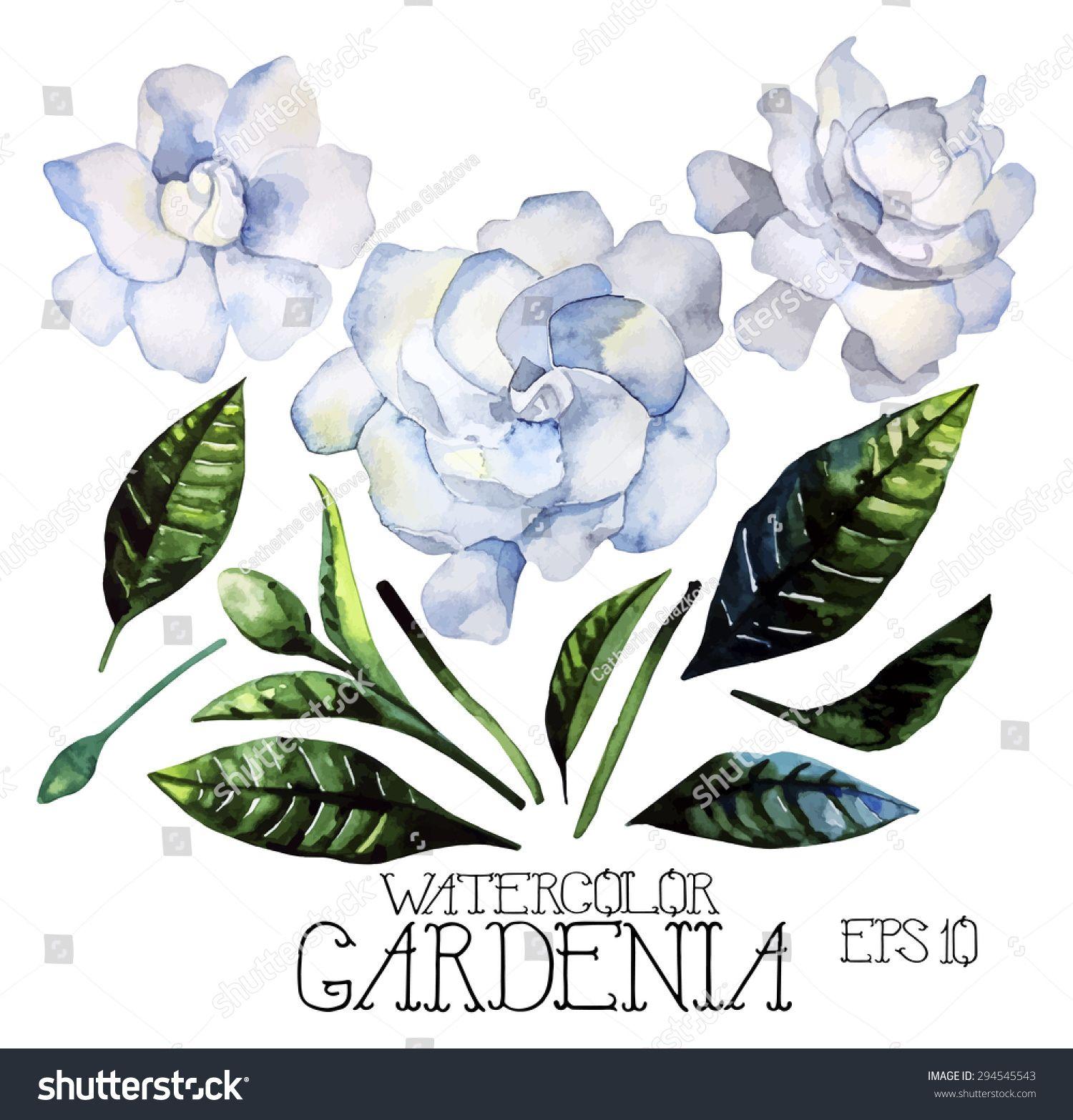 Watercolor Gardenia Set Vector Design Elements Isolated On White Background Gardenia Watercolor Free Vector Art