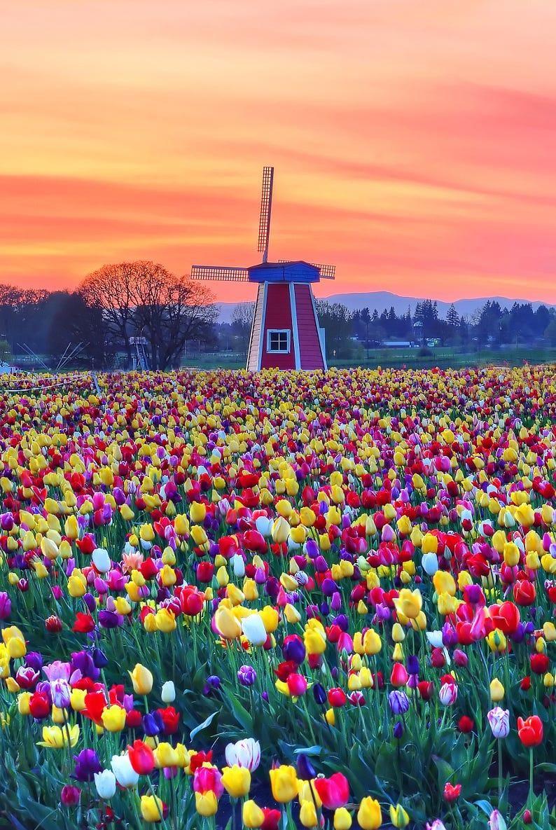 Wooden Shoe Tulip Farm At Sunset Netherlands By David Wang Tulip Fields Netherlands Tulips Garden Tulips