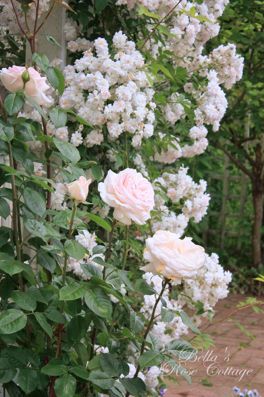 Bella 39 s rose cottage francis meilland rose flowers and for Rose meilland