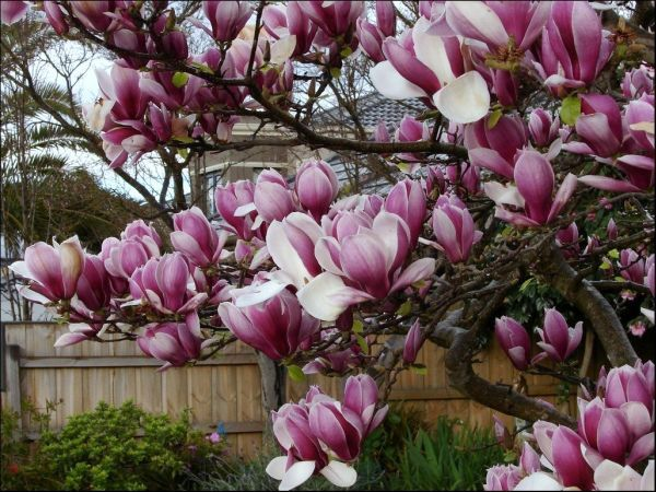 This Looks Like The Magnolia Tree In My Backyard Absolutely