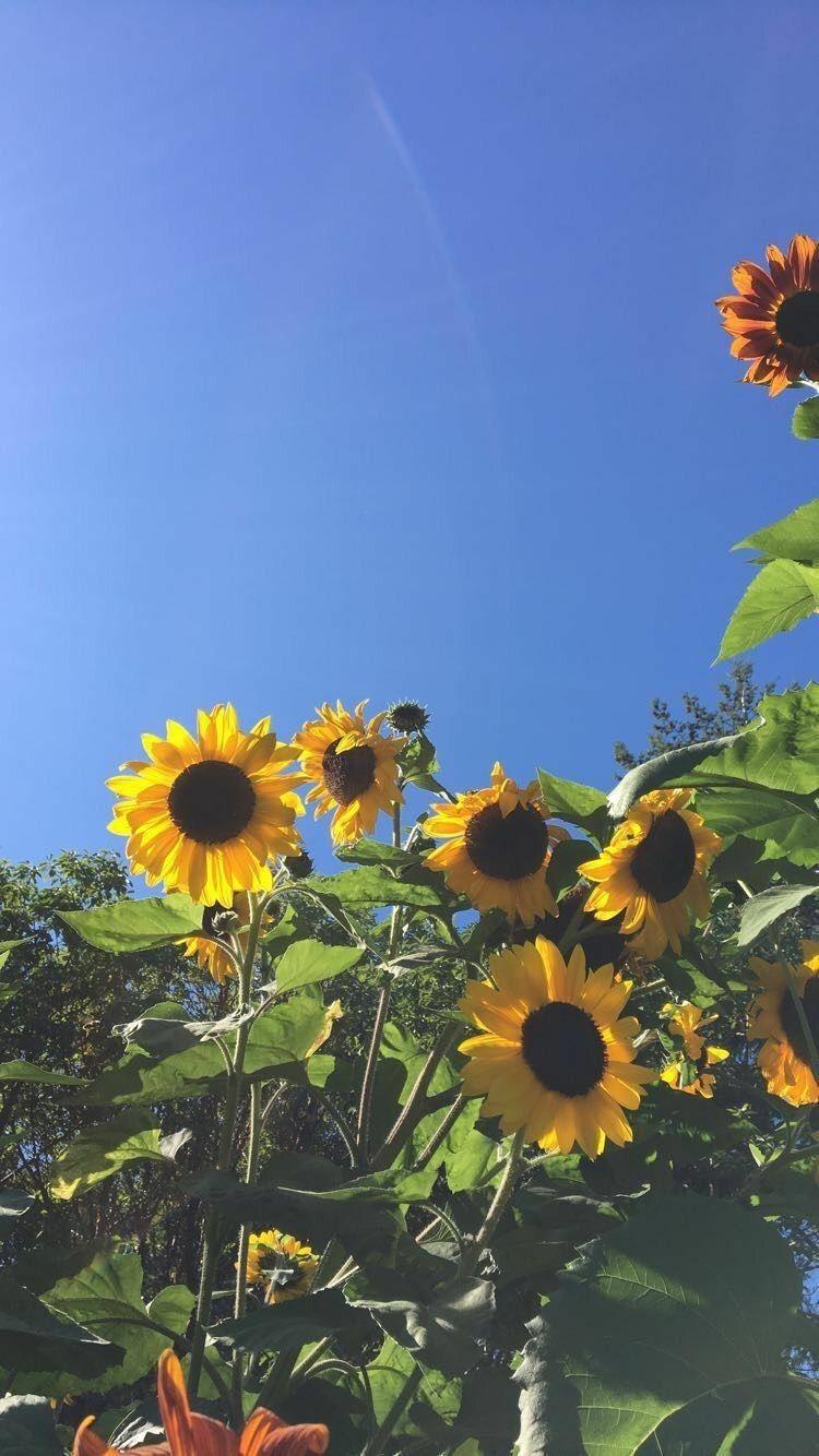 Pin by Lauren Canady on Planos de fundo | Sunflower ...