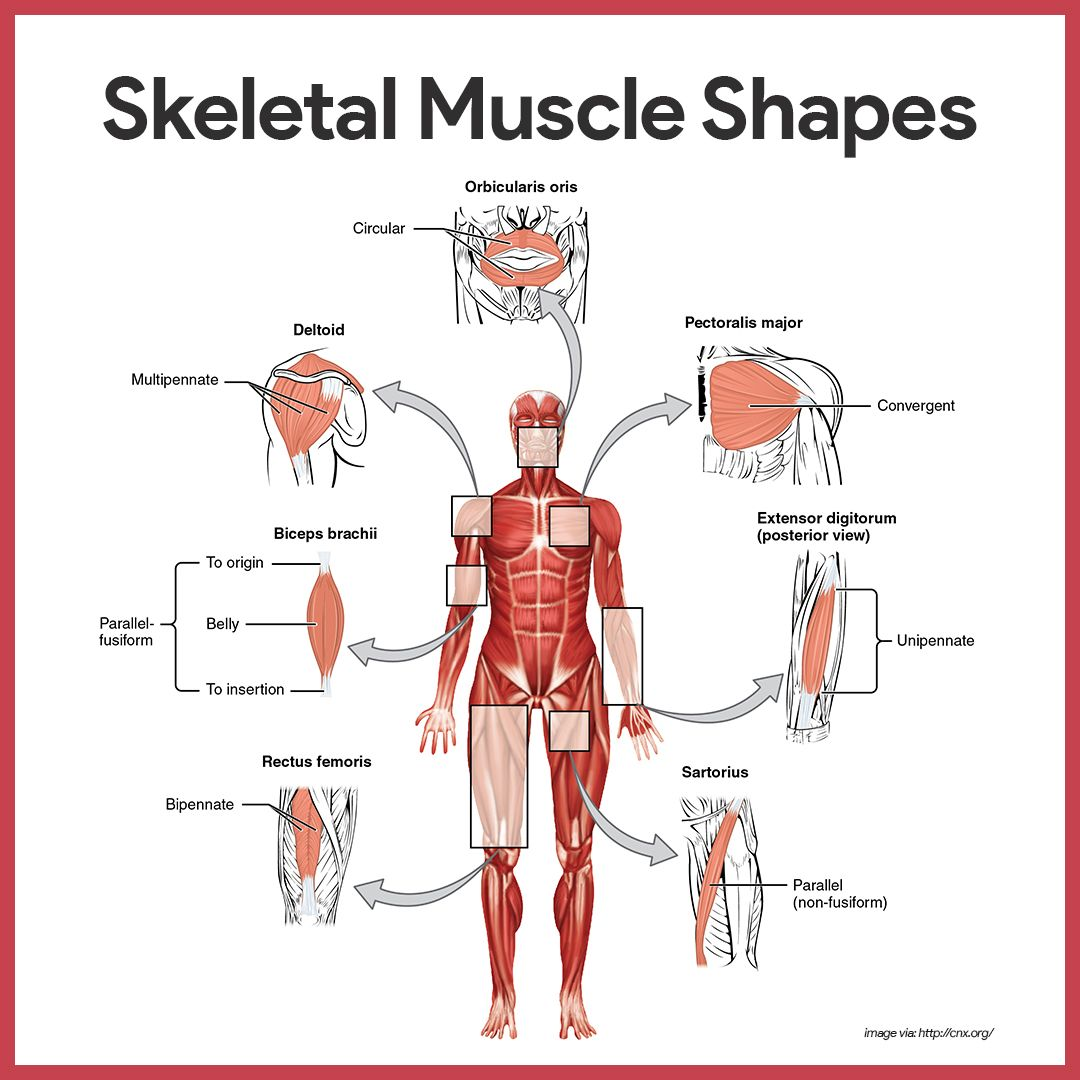 Muscular System Anatomy and Physiology | Skeletal muscle, Muscles ...