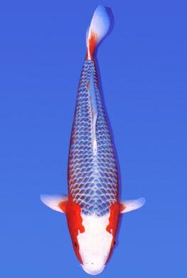 Selecting Asagi Or Shusui Koi Koi Fish Koi Carp