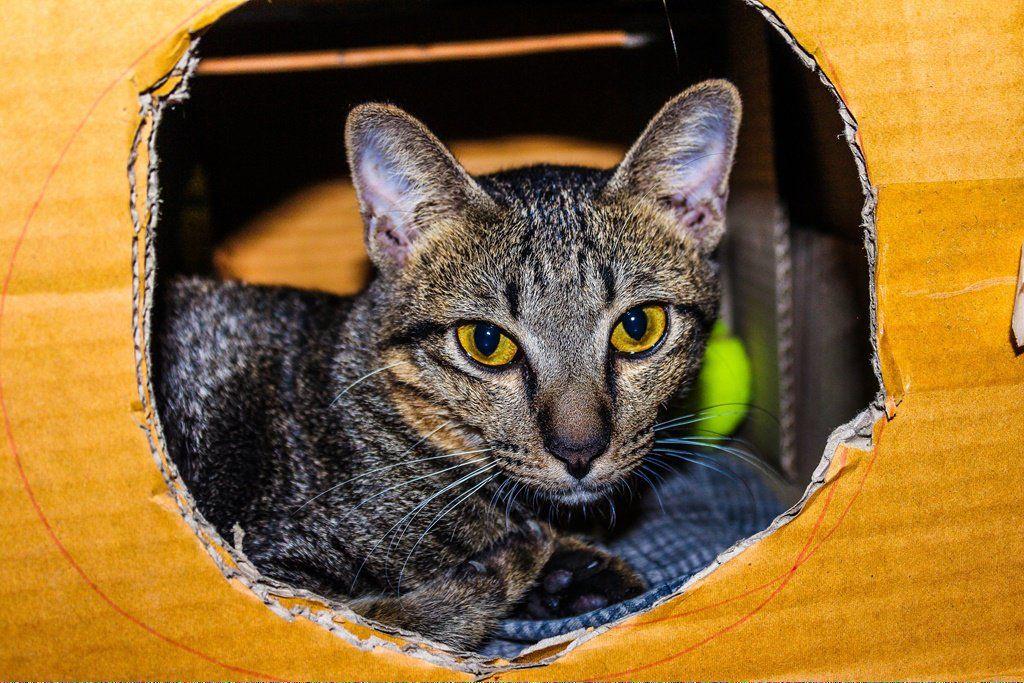 DoCatsDream Key 531740738 Why do cats purr, Siamese