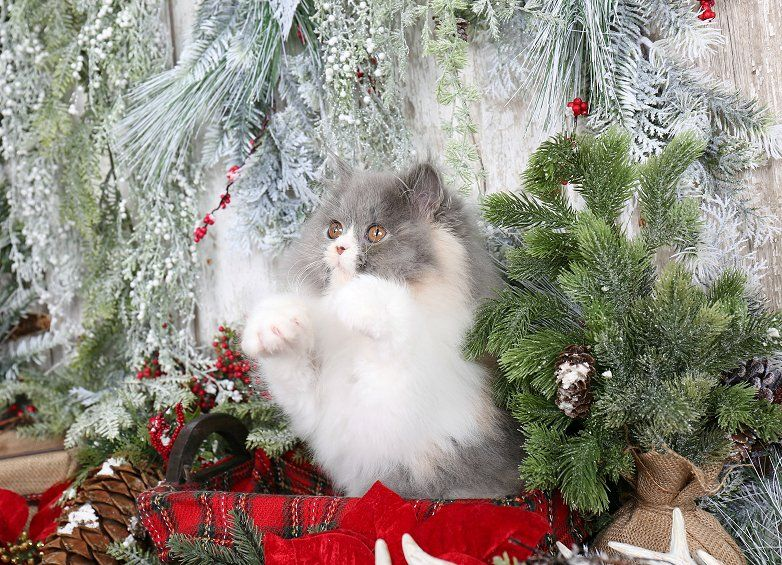 Kendra Click Here Designer Persian Kittens For Sale