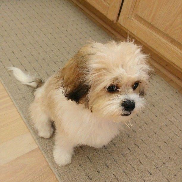 Charlie The Cavachon Sable White Cavachon Puppy Cavalier
