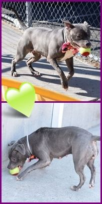 SAFE 2-26-2016 --- Brooklyn Center CHULA – A1064913  FEMALE, GRAY / WHITE, AM PIT BULL TER MIX, 1 yr, 7 mos OWNER SUR – EVALUATE, NO HOLD Reason LLORDNYCHA Intake condition EXAM REQ Intake Date 02/11/2016 http://nycdogs.urgentpodr.org/chula-a1064913/