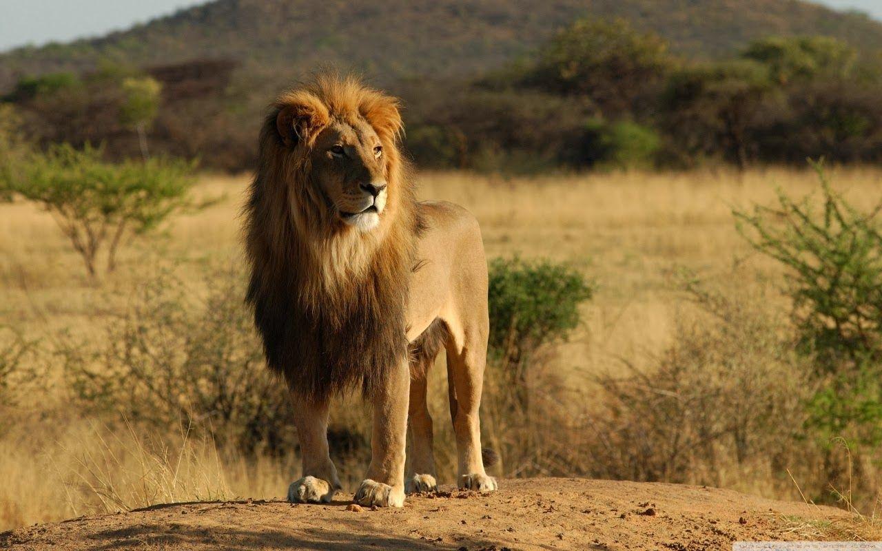 North African Lion Lion Pictures Lion Wallpaper Lion Hd Wallpaper