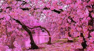 Unduh 7700 Wallpaper Wa Bunga Sakura Gratis Terbaru